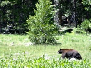 California Black Bear photo credit ytimg dot com